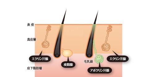 汗腺のメカニズム