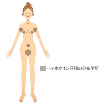 アポクリン汗腺の分布図-体のどこの場所にアポクリン汗腺はあるの?